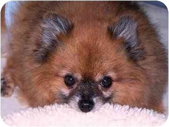 Pomeranian Dog for adoption in Roebuck, South Carolina - Sparky VIDEO!