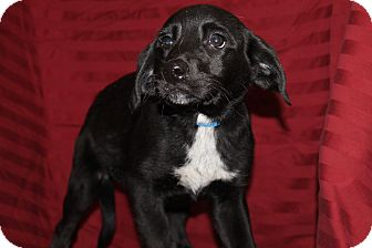 Labrador Retriever Mix Puppy for adoption in Waldorf, Maryland - Mick