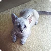 Adopt A Pet :: Kitty - Chandler, AZ