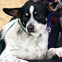 Chihuahua Mix Dog for adoption in Palmdale, California - Chuck