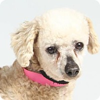 Miniature Poodle Dog for adoption in Colorado Springs, Colorado - Patty