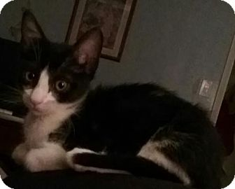 Domestic Shorthair Cat for adoption in Glendale, Arizona - Abraham