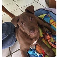 Labrador Retriever Mix Puppy for adoption in South San Francisco, California - Remington