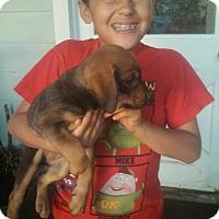 Adopt A Pet :: Shep/Dobie/lab - El Cajon, CA
