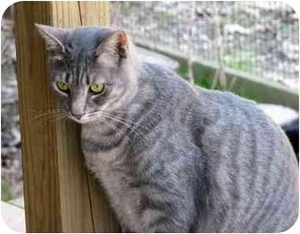 Domestic Shorthair Cat for adoption in Columbia, Maryland - Lily, Smoky and Buffy