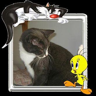 Domestic Shorthair Cat for adoption in Sherman Oaks, California - Sylvester