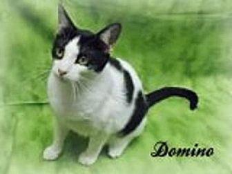 British Shorthair Cat for adoption in Houston, Texas - Domino