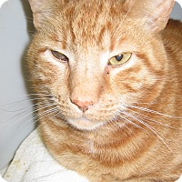 Adopt A Pet :: Comet -at Collegeville now! - Colmar, PA