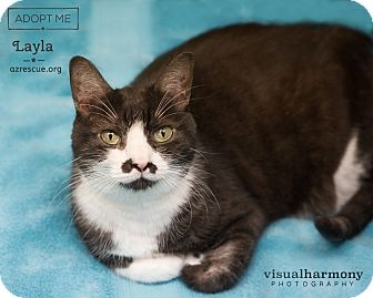 American Shorthair Cat for adoption in Phoenix, Arizona - Layla