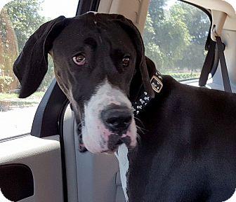 Great Dane Puppy for adoption in Broomfield, Colorado - Zeke