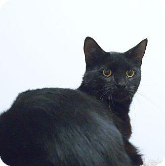 Domestic Shorthair Cat for adoption in Northbridge, Massachusetts - Gotham