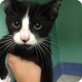 Domestic Shorthair Kitten for adoption in Rockaway, New Jersey - Sadie