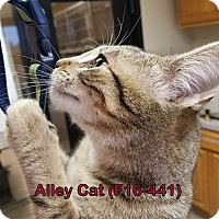 Adopt A Pet :: Alley Cat - Tiffin, OH