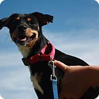 Adopt A Pet :: Zadie - Phoenix, AZ