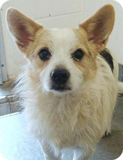 Jack Russell Terrier Mix Dog for adoption in Red Bluff, California - Dodger