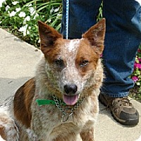 Adopt A Pet :: HANK - Scottsburg, IN