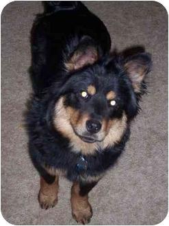 Australian Shepherd/Chow Chow Mix Dog for adoption in Blacksburg, Virginia - Pepy/Cody
