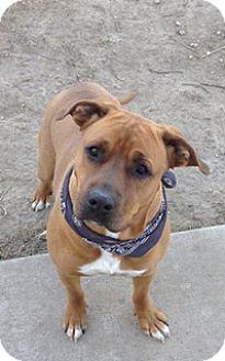 Boxer Mix Dog for adoption in Fort Benton, Montana - Zeus