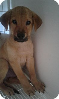 Shepherd (Unknown Type) Mix Puppy for adoption in Mantua, New Jersey - Boomer
