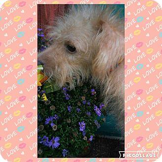 Shih Tzu/Cairn Terrier Mix Dog for adoption in Cranston, Rhode Island - Houdini