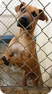 Boxer/Rhodesian Ridgeback Mix Dog for adoption in Cleveland, Mississippi - JANGO-heartworm negative!