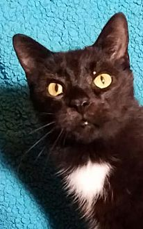 Domestic Shorthair Cat for adoption in Colfax, Iowa - Felix