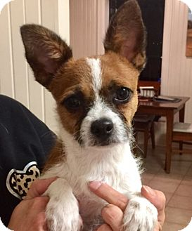 Jack Russell Terrier Mix Puppy for adoption in Houston, Texas - Banjo in Houston