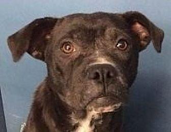 Pit Bull Terrier Mix Dog for adoption in Springdale, Arkansas - Violet