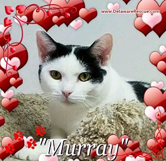 Domestic Shorthair Cat for adoption in Seaford, Delaware - Murray