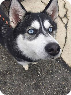 Siberian Husky/Spitz (Unknown Type, Small) Mix Dog for adoption in Matawan, New Jersey - Sitka