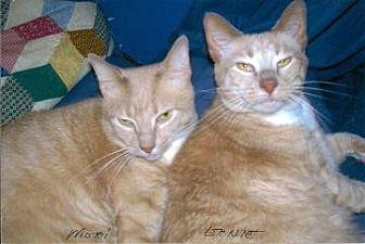 Domestic Shorthair Cat for adoption in New York, New York - Ernest Hemingway