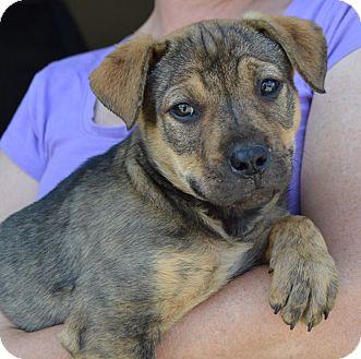 Labrador Retriever/Shepherd (Unknown Type) Mix Puppy for adoption in Springfield, Massachusetts - Cookie