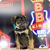 Adopt A Pet :: B.B. King - Little Rock, AR