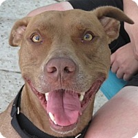 Adopt A Pet :: Nicky! LOVES People & Cats! - St Petersburg, FL