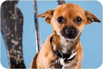 Chihuahua Puppy for adoption in Portland, Oregon - Koko