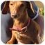 Photo 2 - Dachshund Dog for adoption in Garden Grove, California - Husker