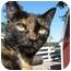 Photo 1 - Manx Cat for adoption in Maxwelton, West Virginia - Sweetie