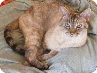 Siamese Cat for adoption in Huntsville, Ontario - Blue - Siamese!