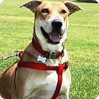 Adopt A Pet :: Ginger - Gilbert, AZ
