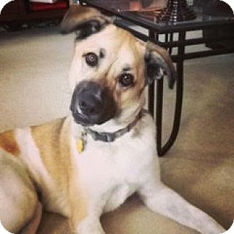 Shepherd (Unknown Type) Mix Dog for adoption in McKinney, Texas - Nugget - Courtesy Post
