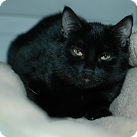 Domestic Shorthair Cat for adoption in Buffalo, Wyoming - Ernistine
