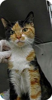 Calico Cat for adoption in Chicago, Illinois - Zula