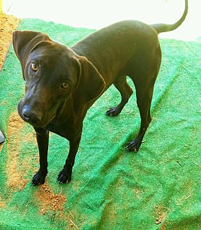 Labrador Retriever Mix Dog for adoption in Graceville, Florida - Jett  #1