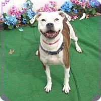 Adopt A Pet :: DESSIE - Marietta, GA