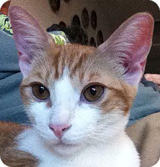 Domestic Shorthair Kitten for adoption in Winchester, California - Liam