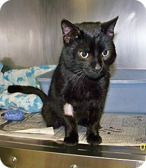 Domestic Shorthair Cat for adoption in Dover, Ohio - Myron