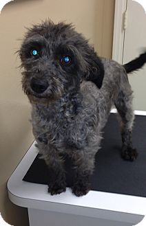 Terrier (Unknown Type, Small)/Poodle (Miniature) Mix Dog for adoption in Knoxville, Tennessee - Sissy