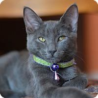 Adopt A Pet :: Blue - Brooklyn, NY