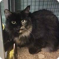 Domestic Longhair Cat for adoption in Oakland, Oregon - Picasa