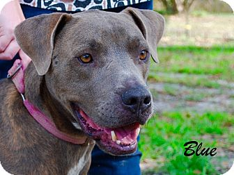American Pit Bull Terrier Mix Dog for adoption in Daleville, Alabama - Blue